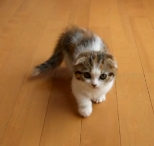Munchkin Cat for Sale